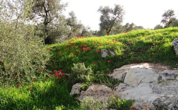 anemones, red flowers