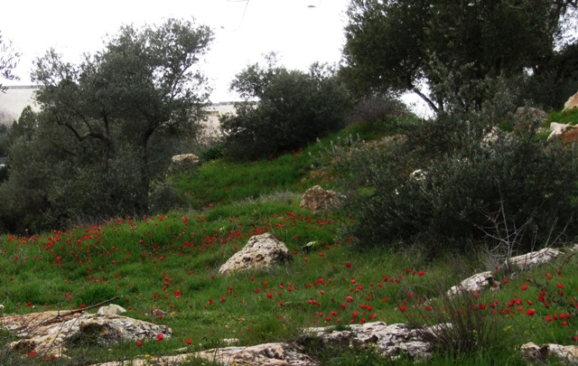 Anemones. red flowers in Jerusalem