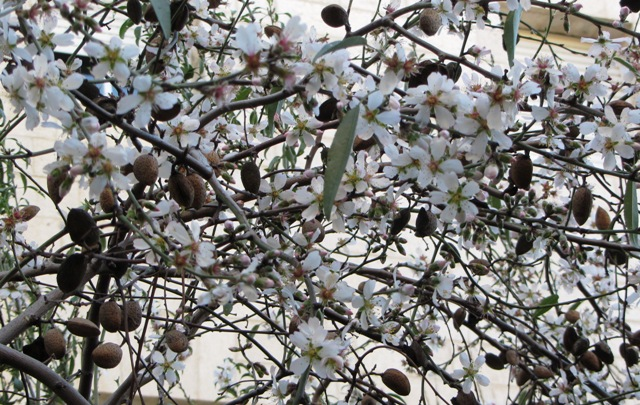 almond tree in bloom image ,