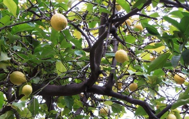 lemons on tree image