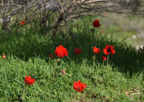 Anemones photo, Jerusalem nature walk