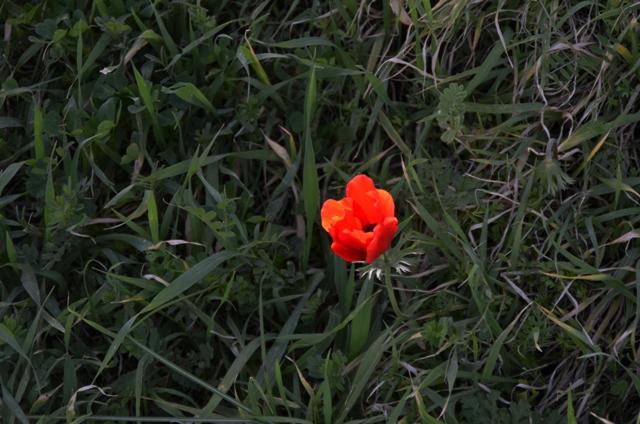 Anemone photo, Jerusalem nature spot