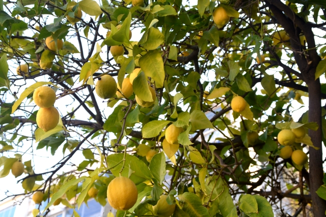 image lemon tree, photo lemons on tree, picture lemons growing