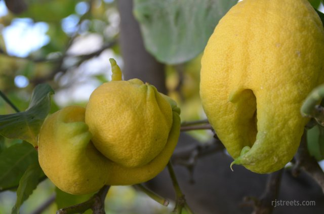 image unusual lemons, picture fruit on tree, photo lemons on tree