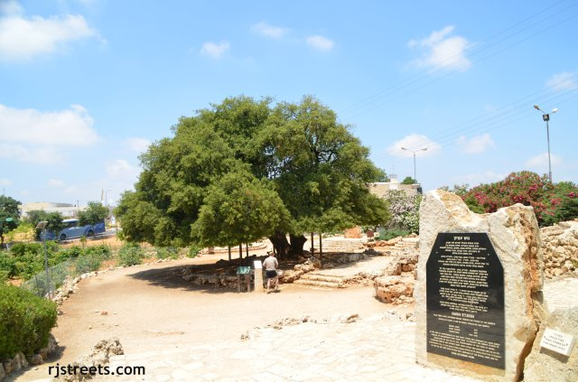 image lone tree. photo lone tree Gush etzion