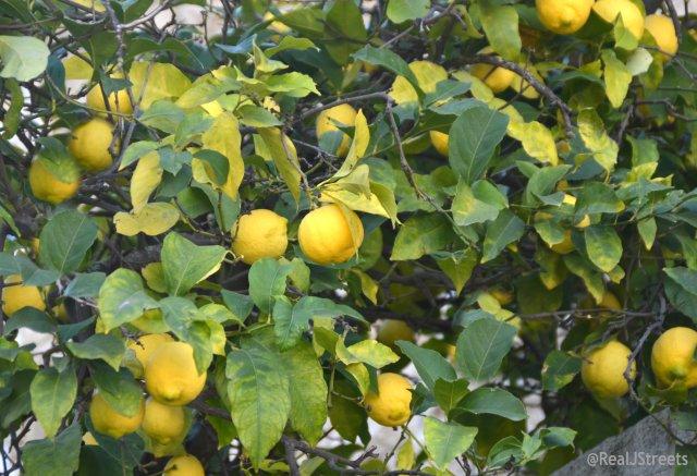 image lemons growing