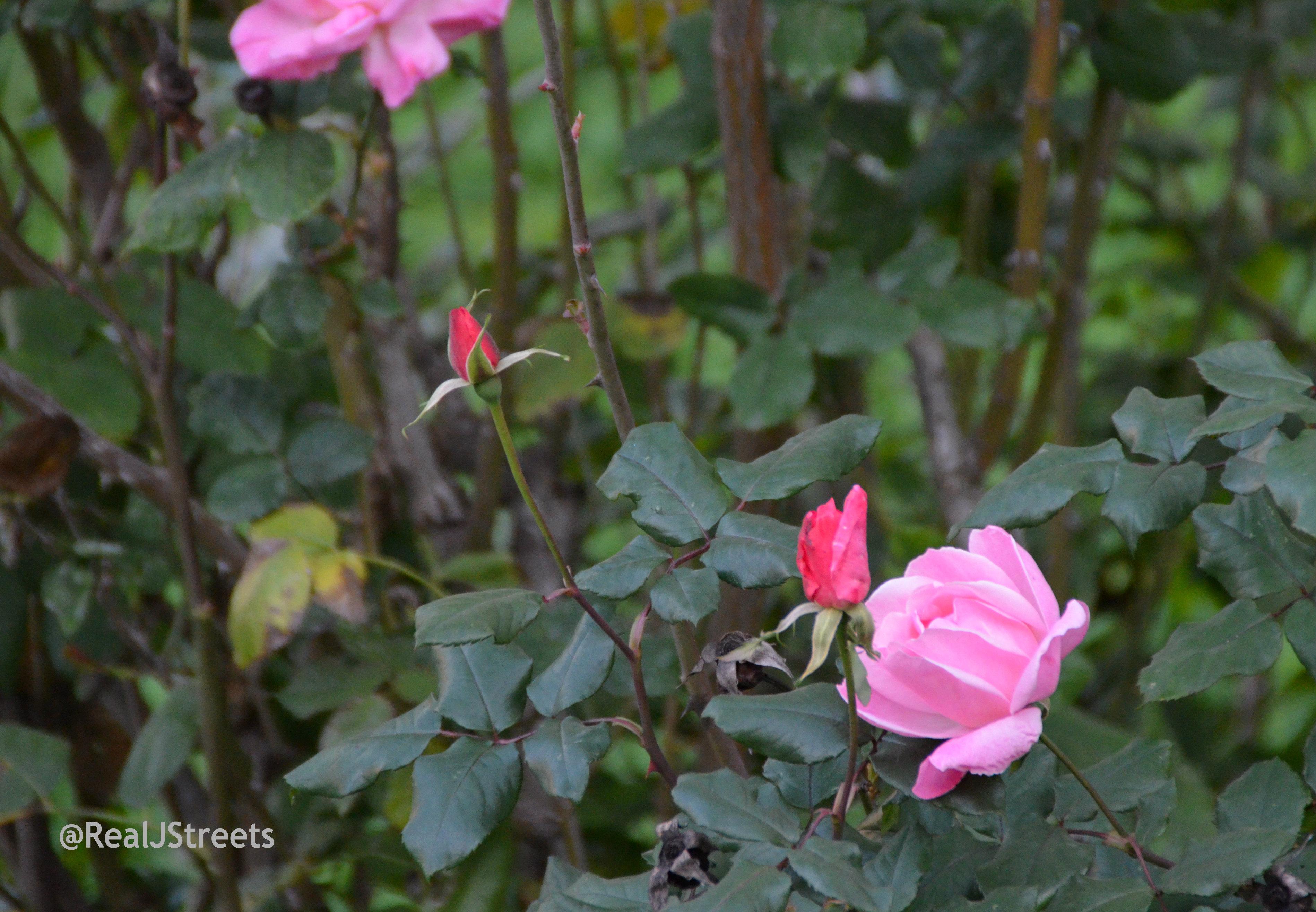 image December roses budding