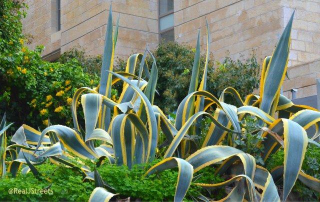 image huge aloe plant