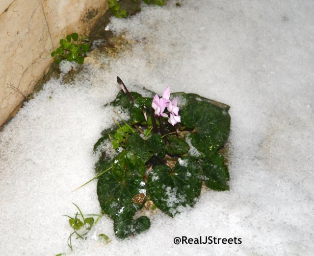 flower in snow in Jerusalem