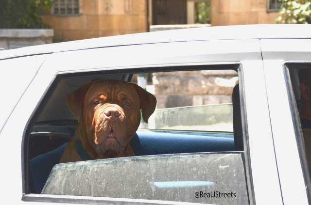 large dog in car