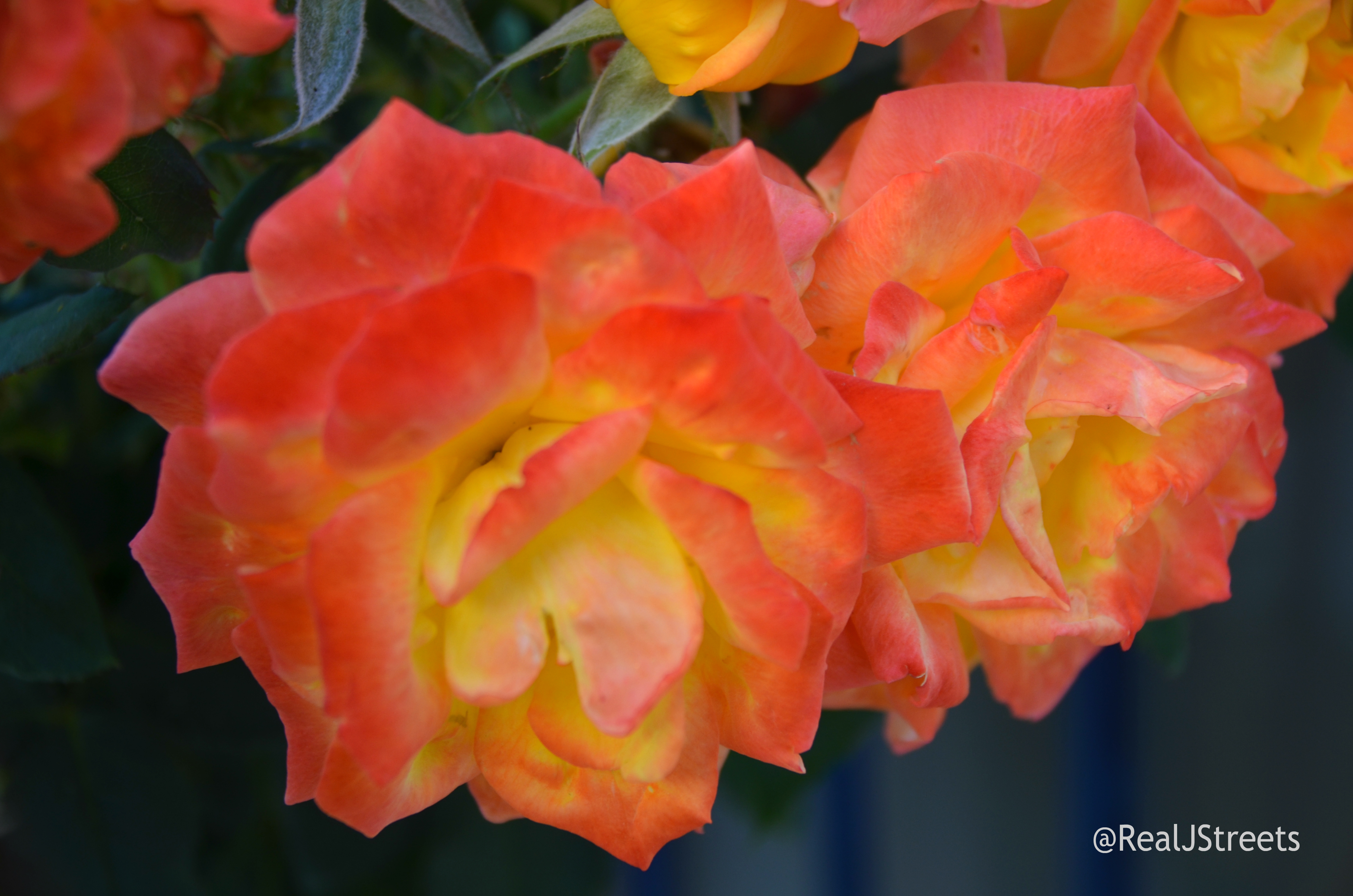 flowers special roses
