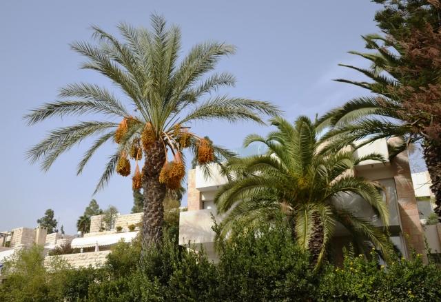 dates on palm tree