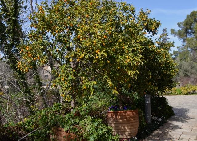 kumqat tree