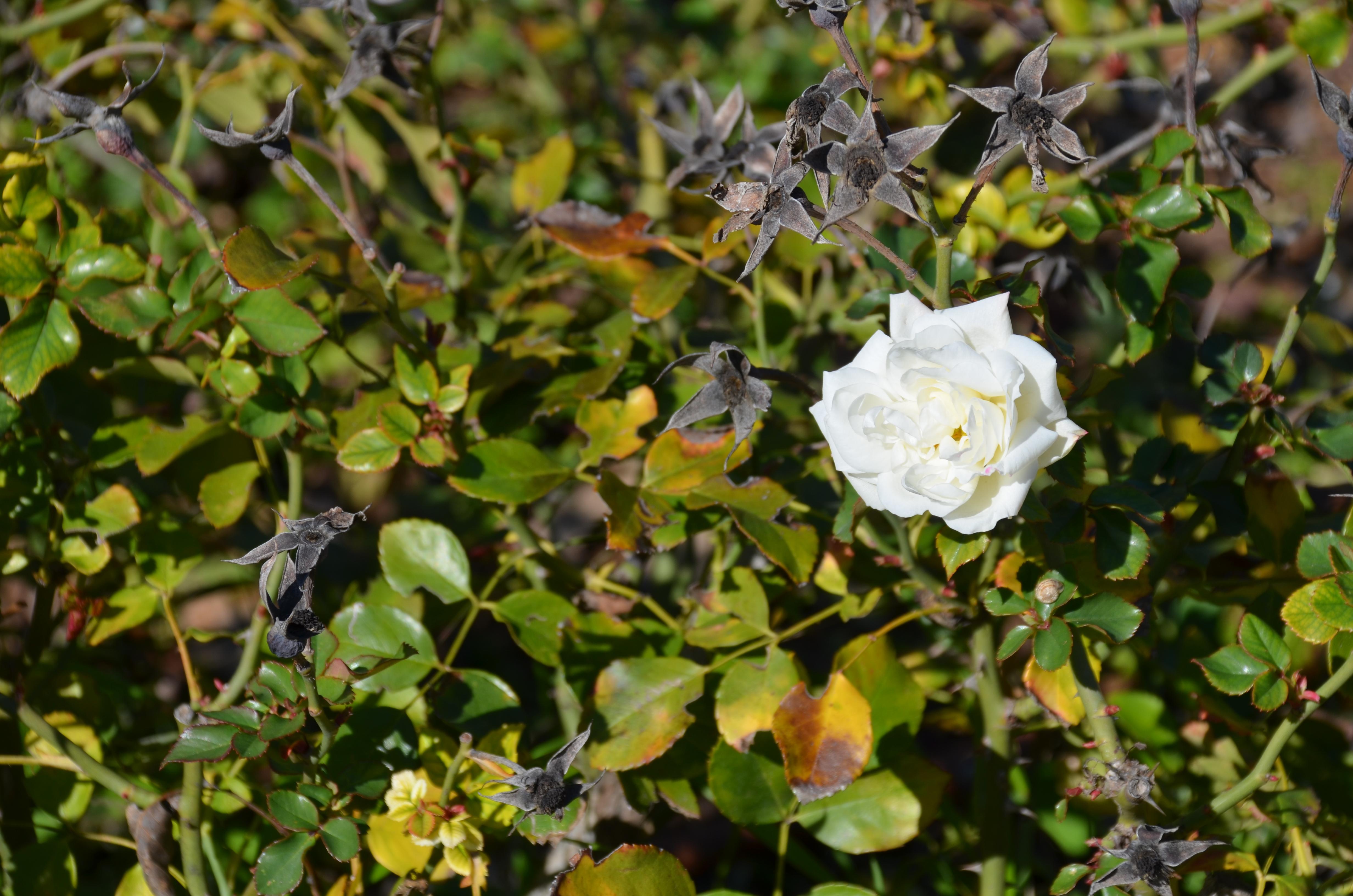 flower, rose, park