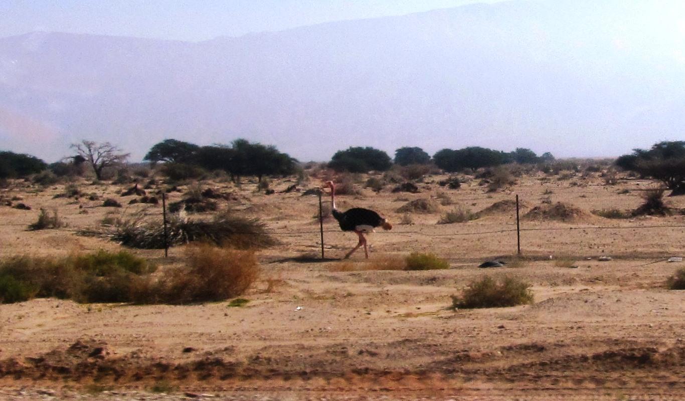 ostrich in Negev