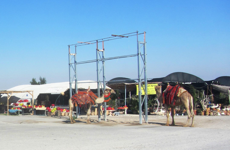 camels at rest stop