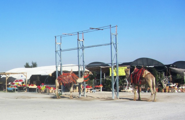 camels at rest stop