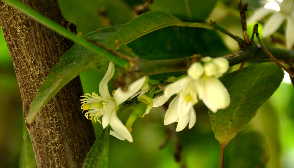 blossoms on tree lime buds