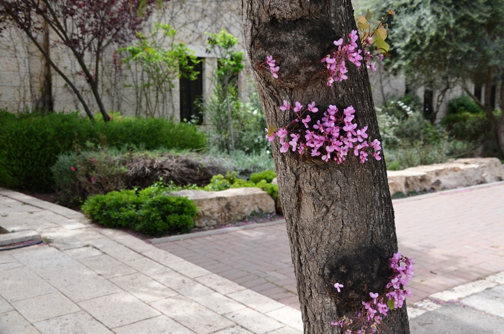 flowers on tree Jerusalem spring