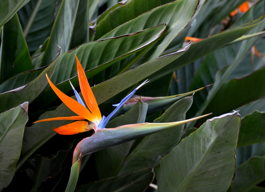 flower bird of paradise Jerusalem Israel spring