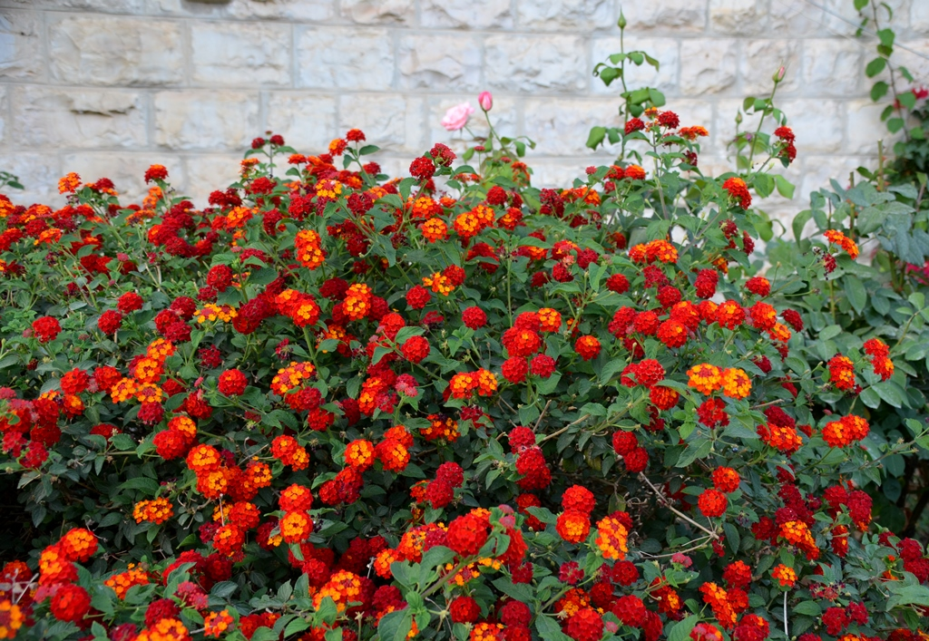 Bright orange flowers in Jerusalem summer