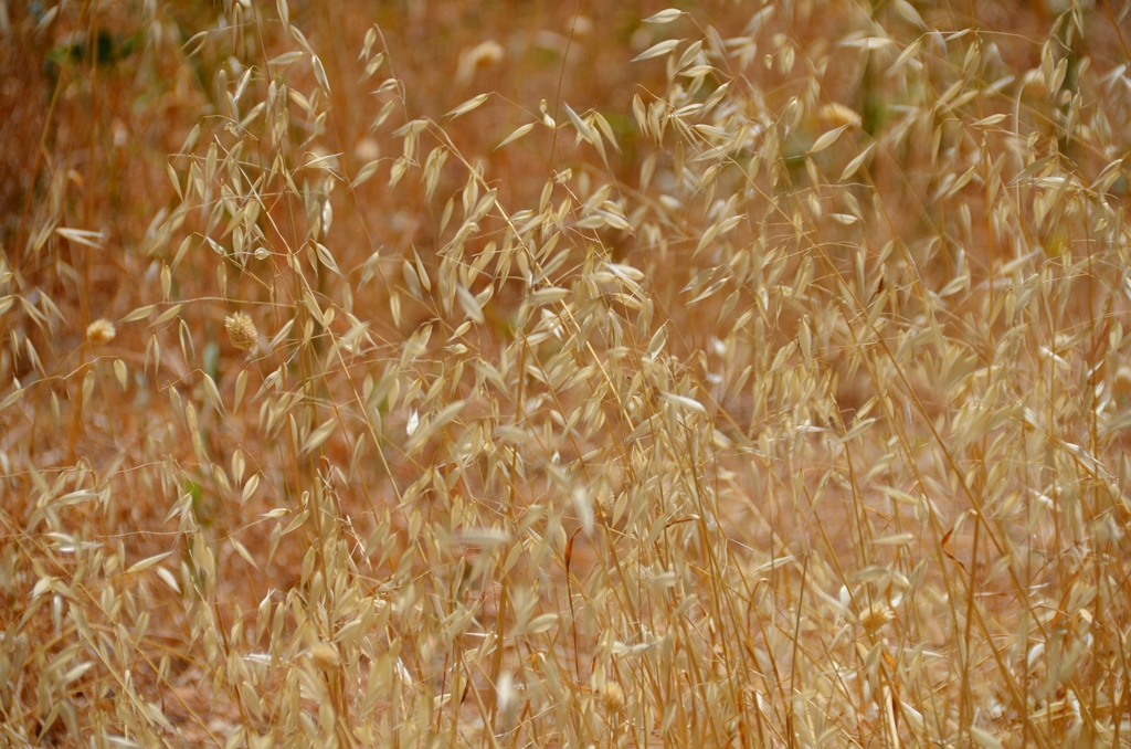 dry grass of summer