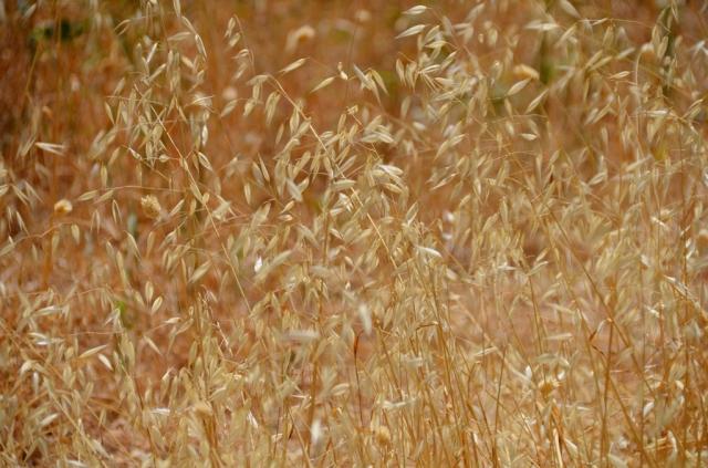 dry grass of summer